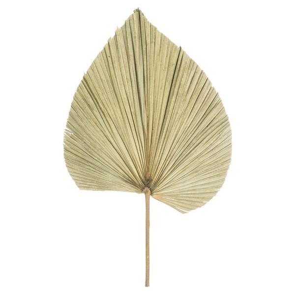 Dried Natural Fan Palm