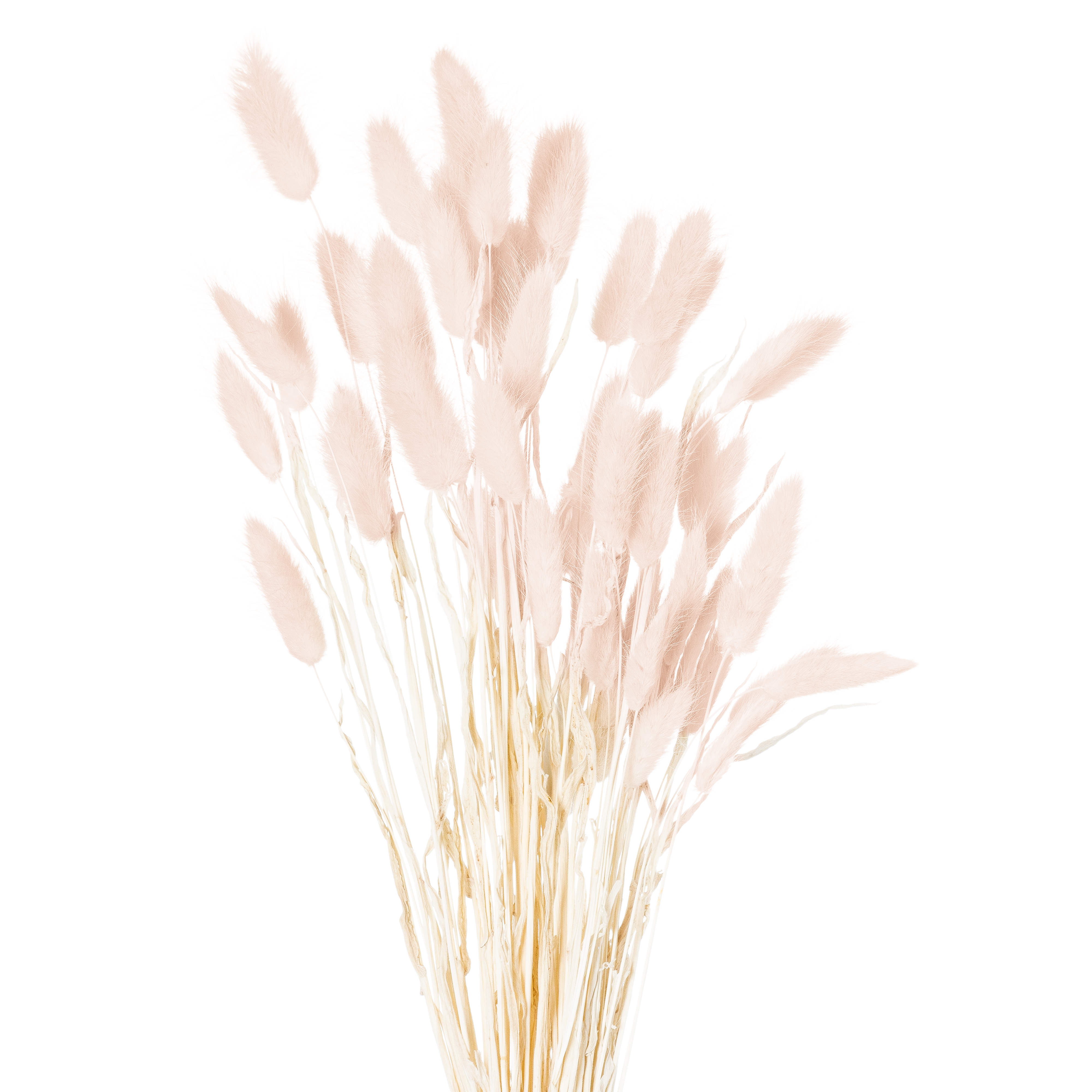 Dried Pale Pink Bunny Tail Bunch Of 40