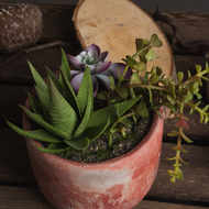 Image 3 - Potted Succulent