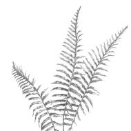 Image 3 - Silver Fern Spray