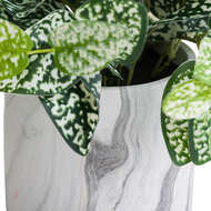 Image 3 - Variegated White And Green Nerve Plant