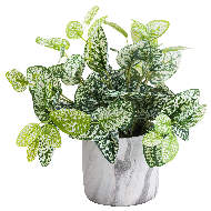 Image 4 - Variegated White And Green Nerve Plant