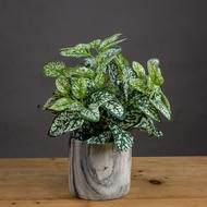 Image 1 - Variegated White And Green Nerve Plant